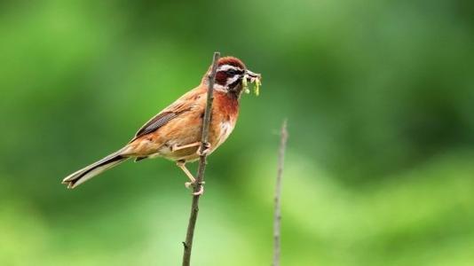 三道眉草鸟该怎么养?
